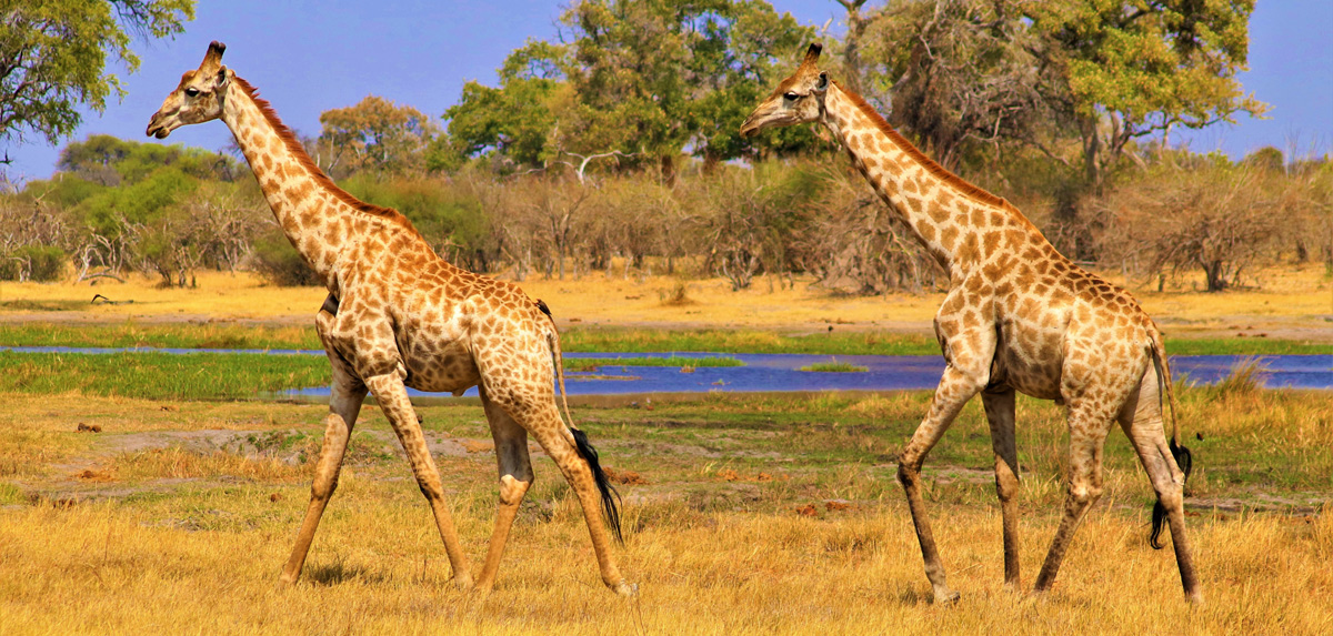 girafe du botswana