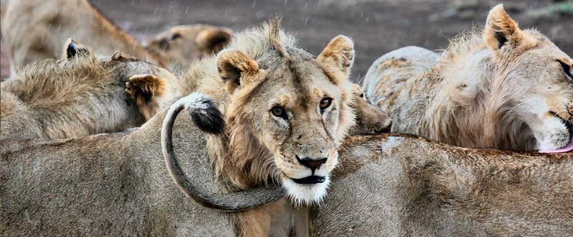 Lions de tanzanie